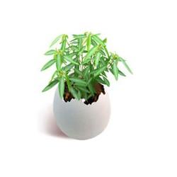 Tańcząca roślina z jajka - Aturi